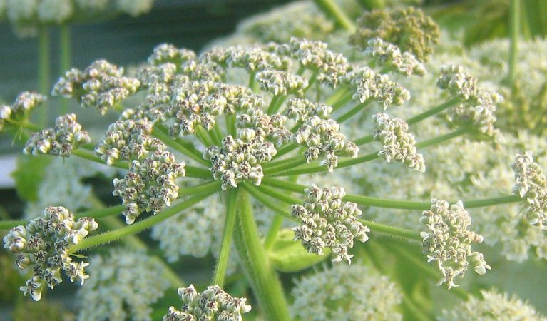 Giant Hogweed - Tweed Forum