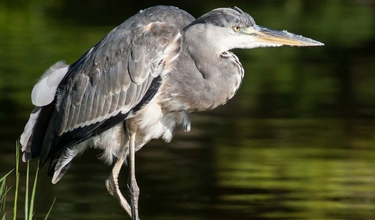 Heron - Shropshire Wildlife Trust
